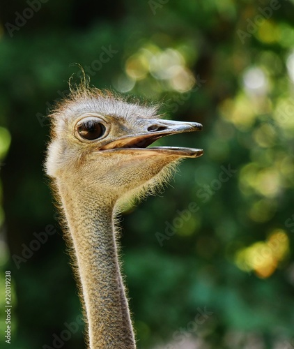head of an ostrich, detailled closeup, backlit by sunlight, defocused background