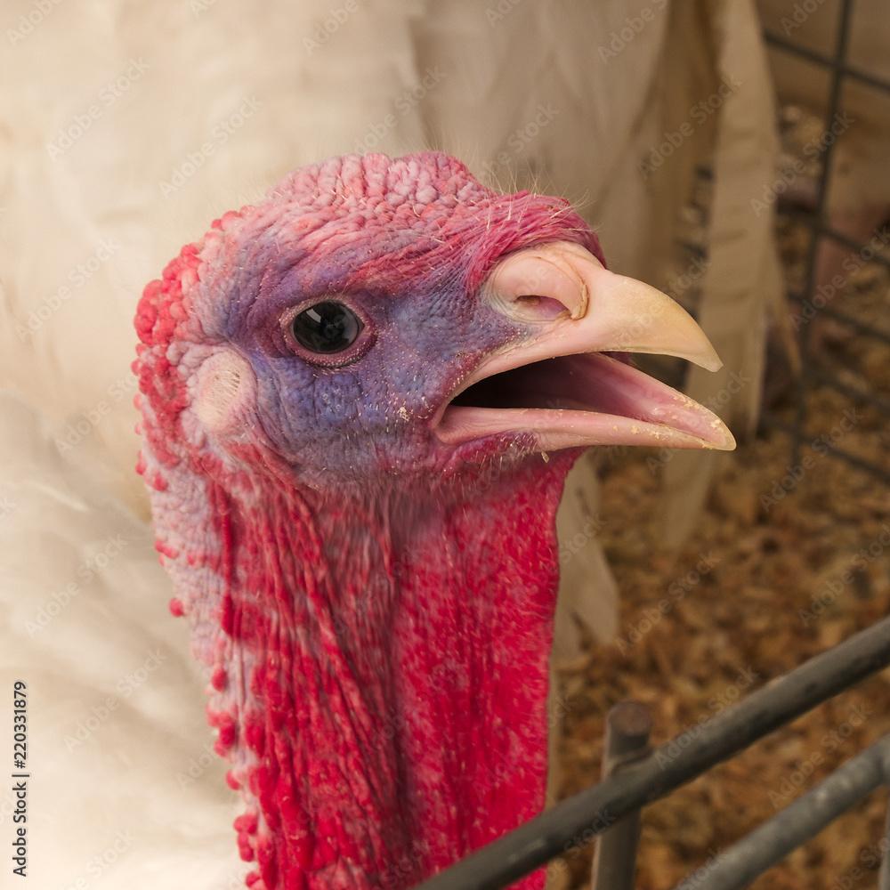 Fényképezés  Portrait turkey, Meleagris gallopavo, at the farm agriculture bird head closeup