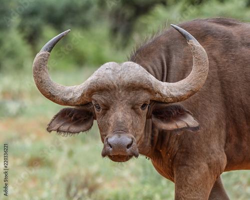 Spoed Foto op Canvas Buffel African Buffalo