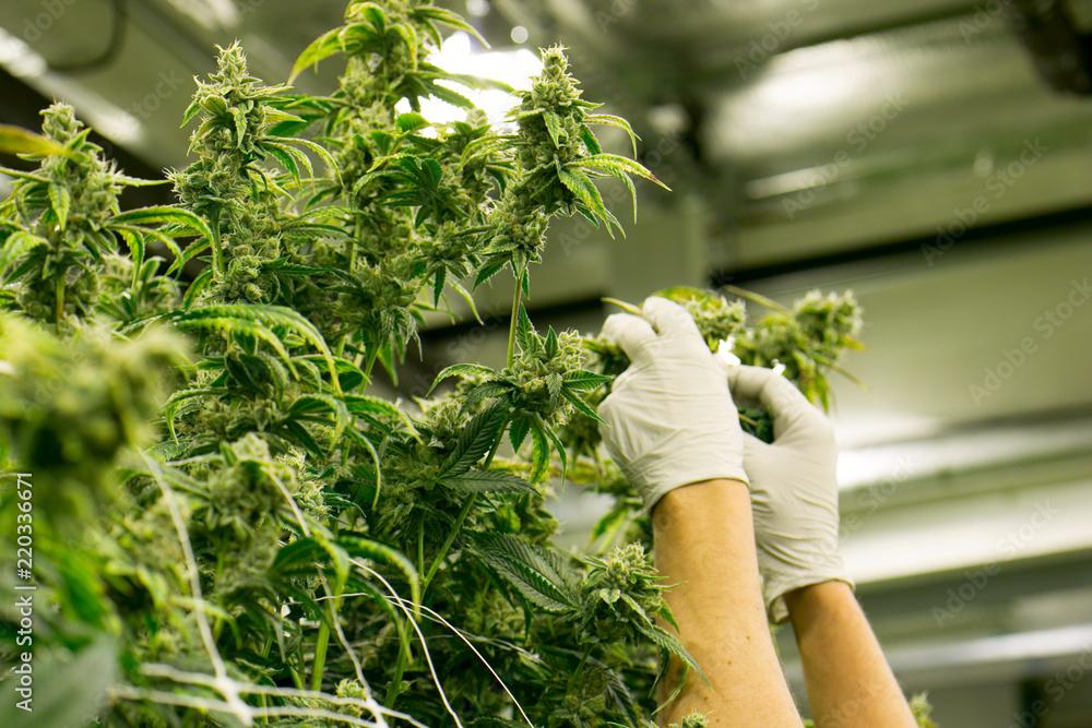 Fototapety, obrazy: Hands Trim Cannabis Plant Marijuana Indoor Farm