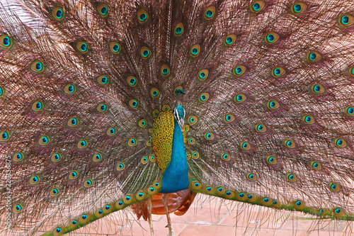 Foto op Aluminium Pauw Close-Up of peacock with fanned feathers