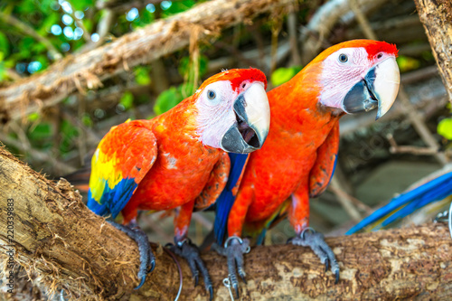 Fototapety, obrazy: Macaw Parrots on the tree branch