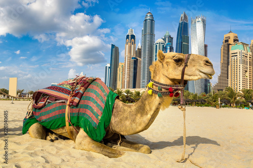 Camel in front of Dubai Marina