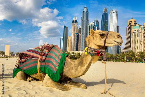 fototapeta na szkło Camel in front of Dubai Marina