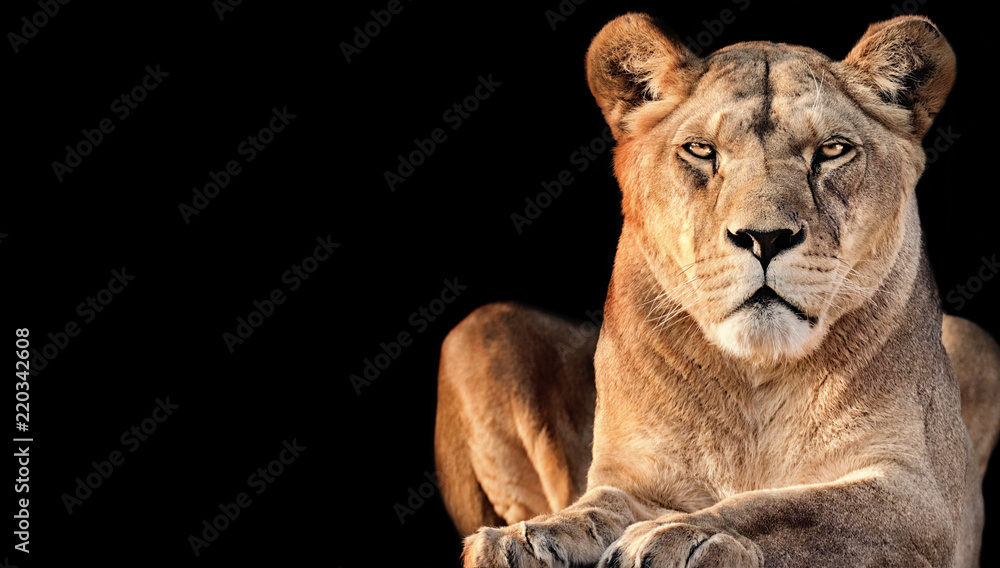 lioness with black background