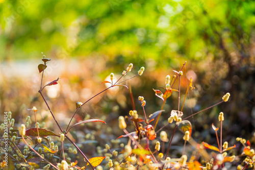 Spoed Foto op Canvas Natuur soft light tone and soft focus of abstract nature background with grass flower at sunrise