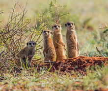Meerkat Family Group