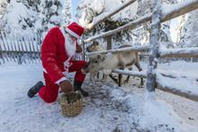 Santa Claus Feeding Reindeer, Ruka (Kuusamo), Northern Ostrobothnia Region, Lapland, Finland