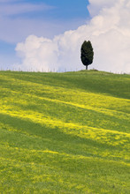 Green Fields, Cypress Trees And Blue Sky In Val D'Orcia, Tuscany