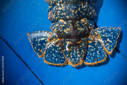 Queue de homard bleu