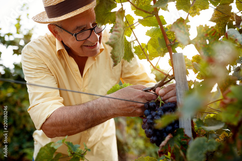 Fotomural  happy man picking red wine grapes on vine.