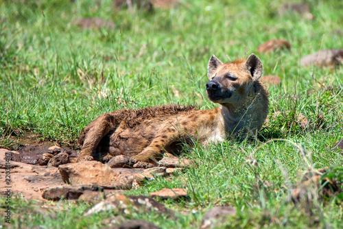 In de dag Hyena Spotted hyena or crocuta rests in savannah