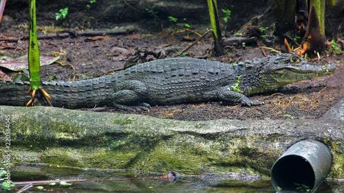 Door stickers Crocodile Krokodil 3