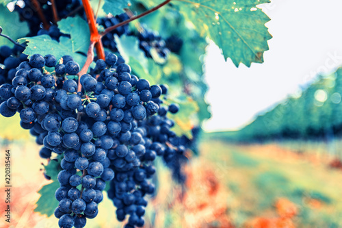 Tuinposter Wijngaard blue merlot grapes in vineyard