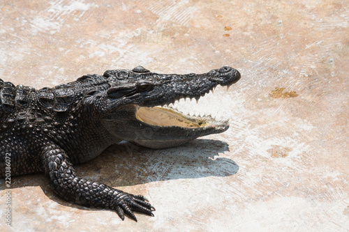 Staande foto Krokodil Crocodile lying mouth open