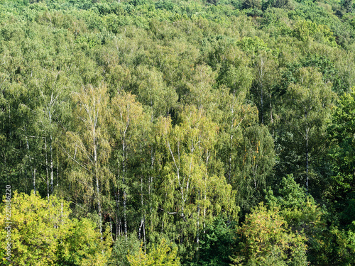 above view of birch grove in dense green forest