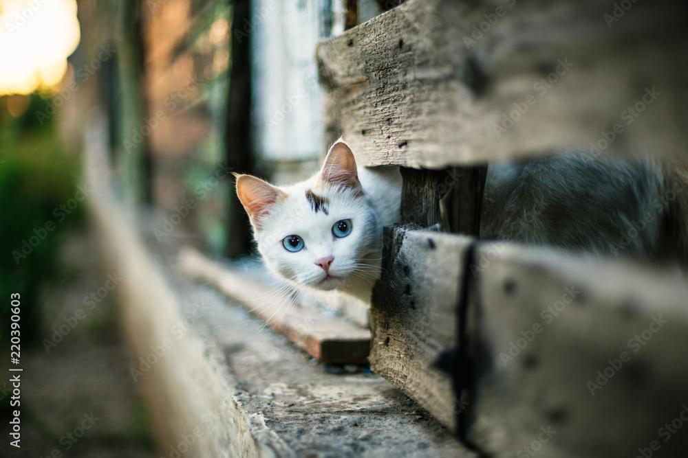 Fototapety, obrazy: Cute white cat looking out of a hole in a wooden fence