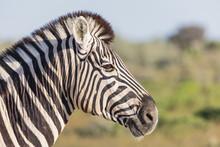 Africa, Namibia, Etosha National Park, Portrait Of Burchell's Zebra, Equus Quagga Burchelli