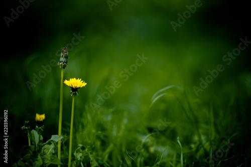 Fototapeten Natur Groene, natuurlijke achtergrond met gras en paardenbloemen die rust uitstraalt
