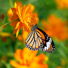 Orange Butterfly Oriental Striped Tiger Or Danaus Genutia, Danainae Family, Hanging On A Double Orange Cosmos Flower With Blurred Orange Flowers In Green Background