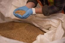 Female Worker Checking Grains ...