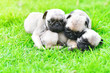 canvas print picture - Cute puppies Pug sleeping together in green lawn after eat feed