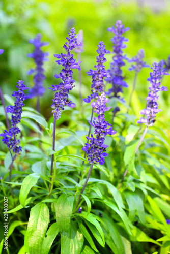 Foto op Canvas Bloemen Blue Salvia (salvia farinacea) flowers blooming in the garden