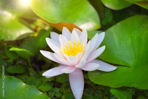 Foto auf Gartenposter Wasserlilien White water lily in the pond (Nymphaea alba)