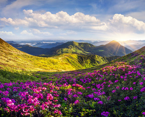 Obraz na Szkle Popularne Colorful summer morning with fields of blooming rhododendron flowers.