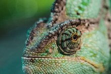 Close Up Of Beautiful Bright Green Chameleon