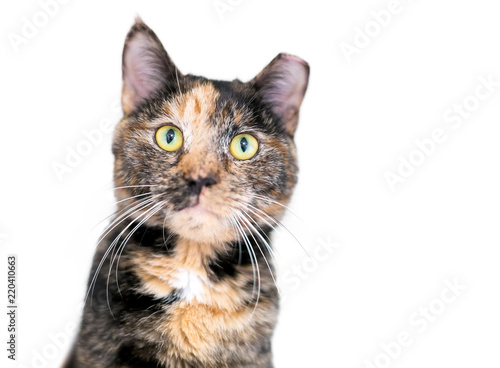 Fotografie, Obraz A Tortoiseshell tabby cat, also known as a Patched tabby, with its ear tipped to