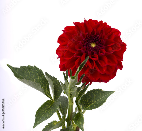 Poster de jardin Dahlia Burgundy dahlia flower with leaves isolated on white background