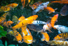 Colorful Fishes Teeming For Fe...