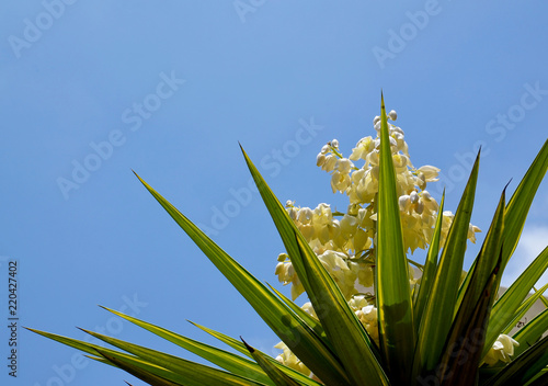 Blooming Yucca plant on a blue sky background Fototapeta