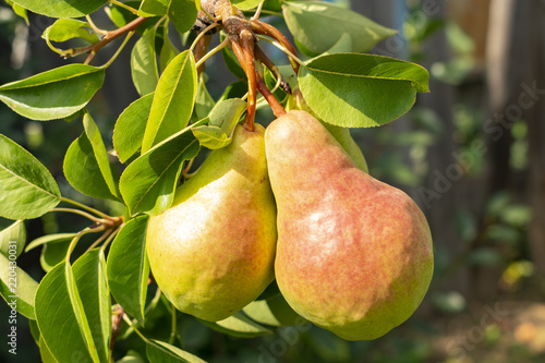 two ruddy pears are singing on a tree branch, close-up Canvas Print