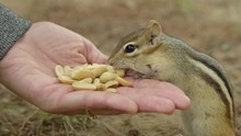 Close Up Of Chipmunk Eating Nu...