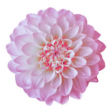 Flower Pink White Dahlia Isola...