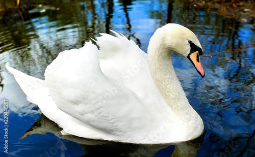 Keuken foto achterwand Zwaan White swan swiming in the lake.