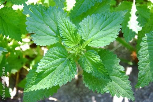 Fotografie, Obraz  ortica pianta erbacea infestante urticante