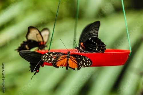 Fényképezés butterflies are setting on food feeder in garden.