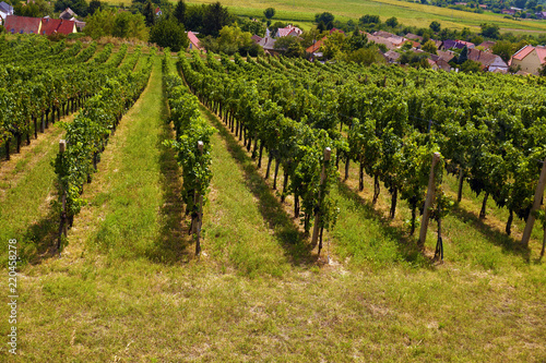 Staande foto Wijngaard Southern Europe. Rows of vines in a vineyard.
