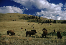 American Buffalo (Bison Bison)
