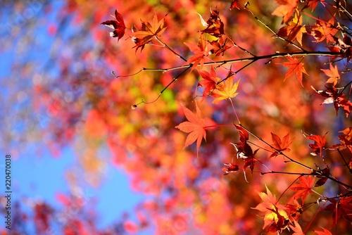Fotobehang Koraal きれいに染まったモミジの紅葉