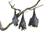 Bats Hanging Upside Down From Tree Branches Isolated On White Background