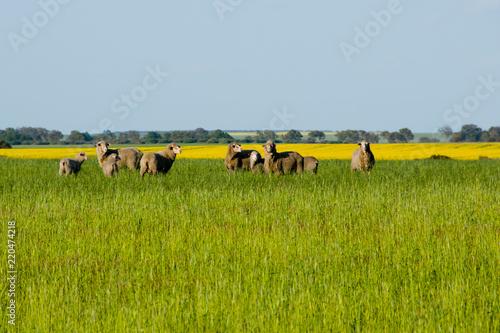 Sheep Pasture - Mid West - Western Australia