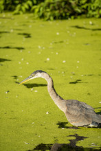 Great Blue Heron Fishing Under The Sun In A Green Algae Covered Pond