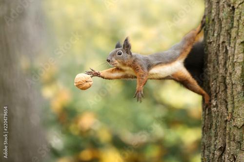 Keuken foto achterwand Eekhoorn Eichhörnchen mit Nuss