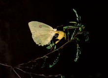 Common Sulphur Butterfly (Coli...