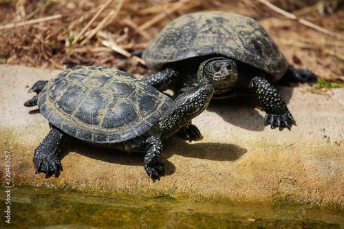 European pond turtle (Emys orbicularis)