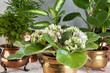 Green plants in brass and copper flower pots